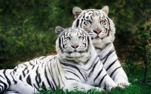 nature_20animals_20tigers_20white_20tiger_201920x1200_20wallpaper_www.wall321.com_36_large